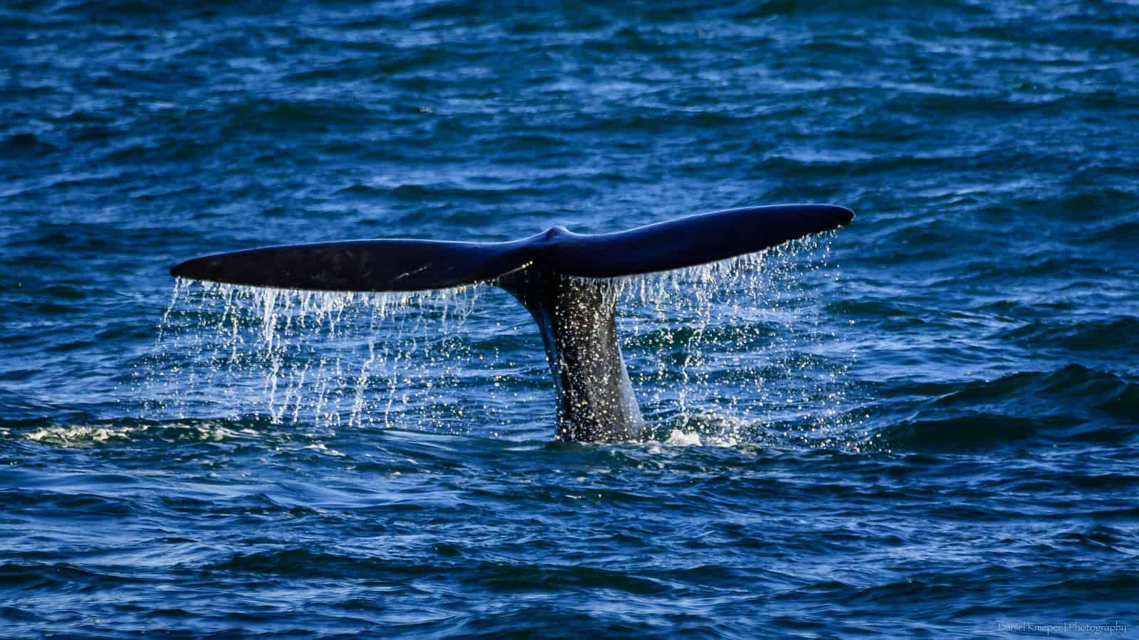 whale watching knysna