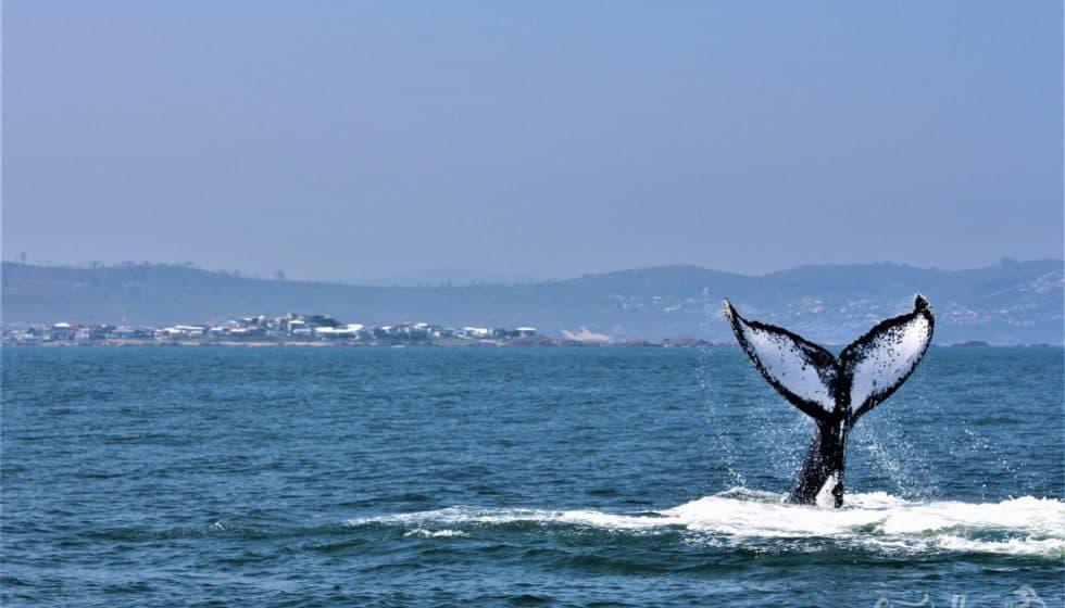 Knysna whale watching